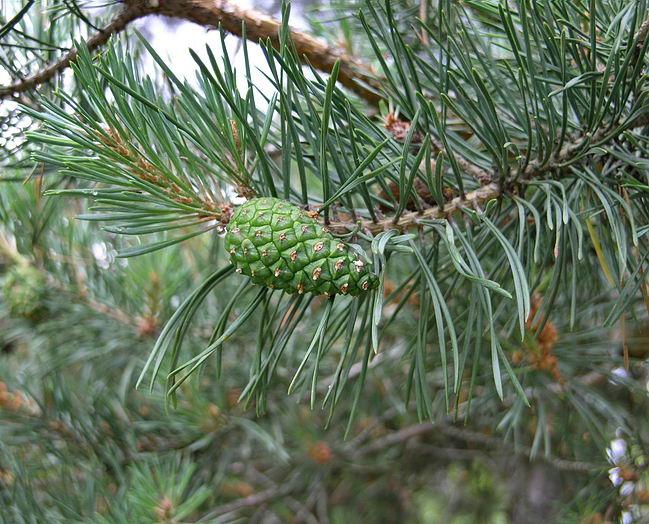 сосна из соснымебель дерево Пенза заказать деревянную сосна Пензе дерева гостиная Пенза-Wood